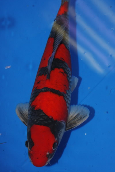 "Goshiki – ""five-colored"" by Bryan Bateman | Midwest Pond ..."