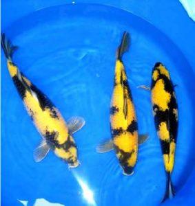 Ki (yellow) Utsuri