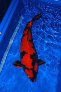 Hi (red) Utsuri